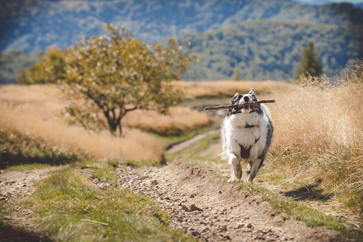 border collie na spacerze