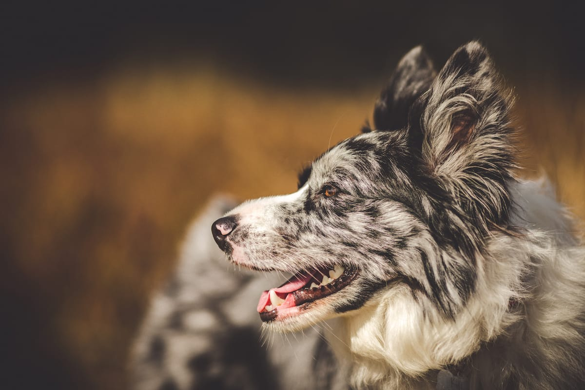 border collie - profil psa