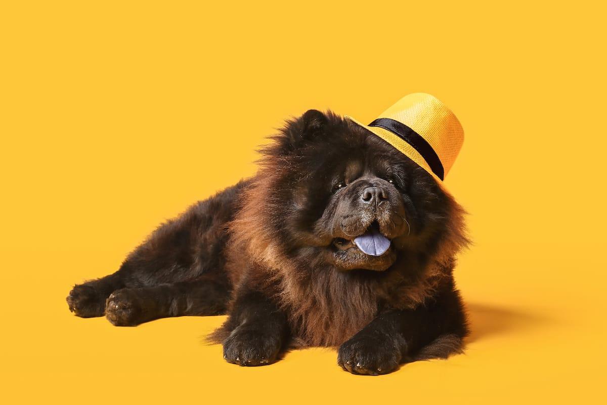 chow chow - dorosły pies