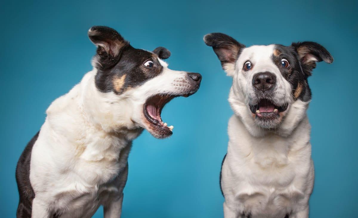 dwa szczekające psy