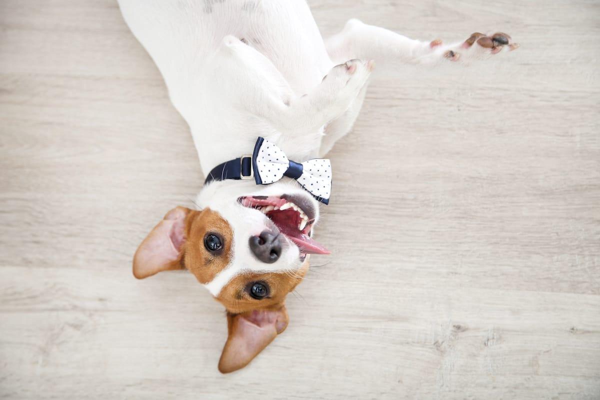 Jack Russell Terrier leży