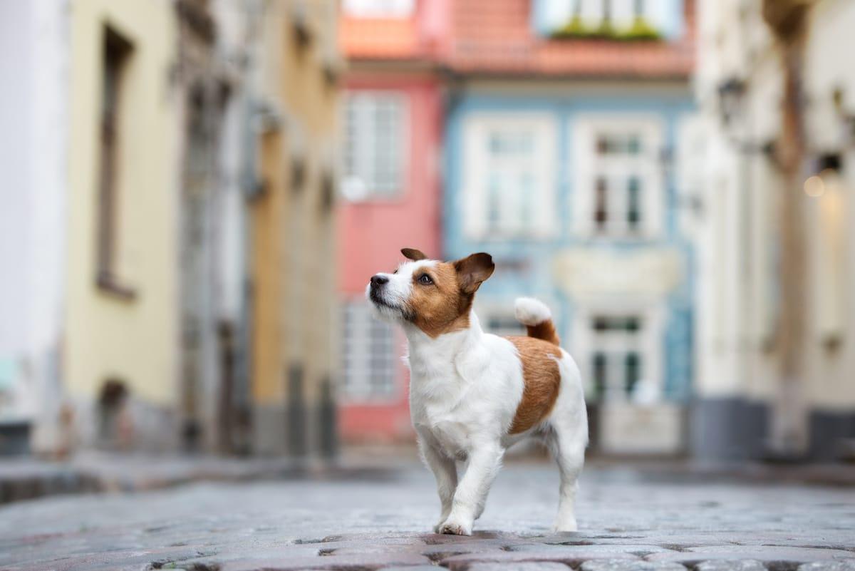 Jack Russell Terrier na spacerze