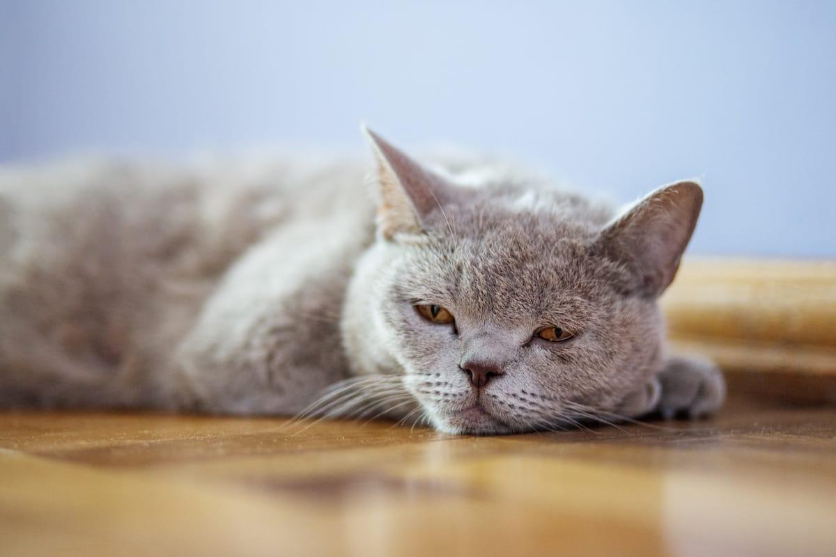 kot leży na podłodze