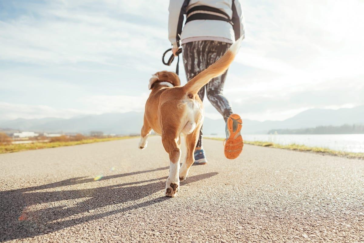 pies na smyczy na spacerze